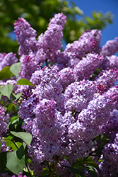 Common Lilac (Syringa vulgaris) at Sargent's Gardens