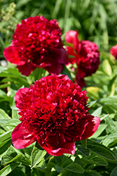 Red Charm Peony (Paeonia 'Red Charm') at Sargent's Gardens