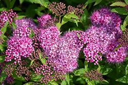 Anthony Waterer Spirea (Spiraea x bumalda 'Anthony Waterer') at Sargent's Gardens