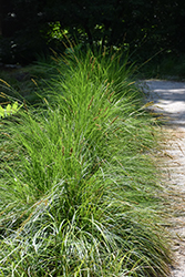 Autumn Moor Grass (Sesleria autumnalis) at Sargent's Gardens