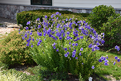 Astra Double Blue Balloon Flower (Platycodon grandiflorus 'Astra Double Blue') at Sargent's Gardens