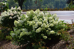 Little Lime® Hydrangea (Hydrangea paniculata 'Jane') at Sargent's Gardens