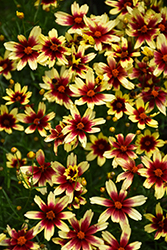 Red Chiffon Tickseed (Coreopsis 'Red Chiffon') at Sargent's Gardens
