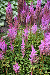 Purple Candles Astilbe (Astilbe chinensis 'Purple Candles') at Sargent's Gardens