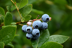 Northcountry Blueberry (Vaccinium 'Northcountry') at Sargent's Gardens