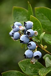 Northblue Blueberry (Vaccinium 'Northblue') at Sargent's Gardens