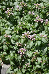 Pink Pewter Spotted Dead Nettle (Lamium maculatum 'Pink Pewter') at Sargent's Gardens
