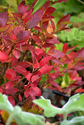 Jelly Bean® Blueberry (Vaccinium 'ZF06-179') at Sargent's Gardens