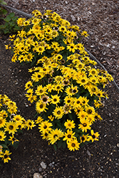 Tuscan Gold™ False Sunflower (Heliopsis helianthoides 'Inhelsodor') at Sargent's Gardens